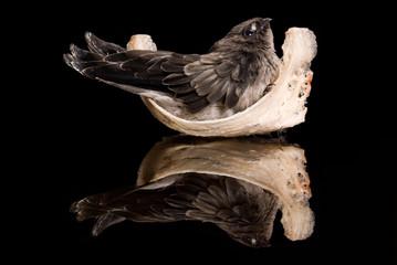Swiflet on nest
