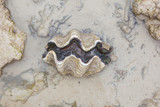 Nature Giant clam  , Tridacna gigas  on the beach in nature poster