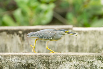 The hungry Little heron (Butorides striata) in Thailand