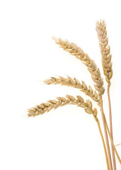 ear of wheats  isolated on white