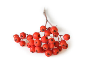 branch of rowanberry on white background