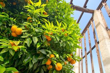 Orangen, Limone, Gardasee, Zitronengarten