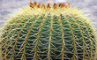 Quills and prickly cactus spines of a dangerous succulent plant