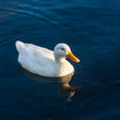 domestic duck swimming on river