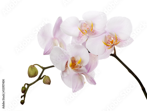 Foto op Canvas Lilac orchids with pink spotted centers on branch