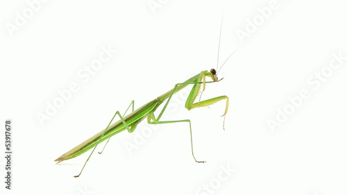 Mantis cleaning its legs.