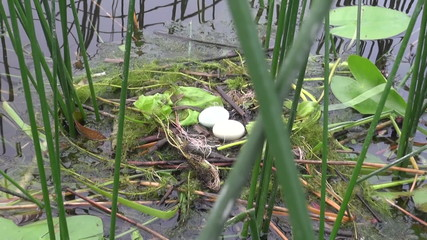 Great Crested Grebe (podiceps cristatus) nest on lake water