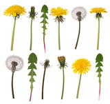 Dandelion flowers and leaves isolated on white