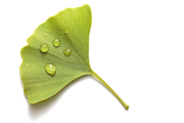 Close-up of a fresh green ginkgo leaf (white background)