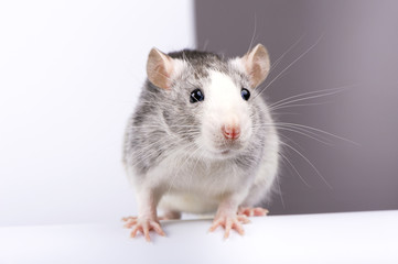 Decorative silver rat on white half gray background