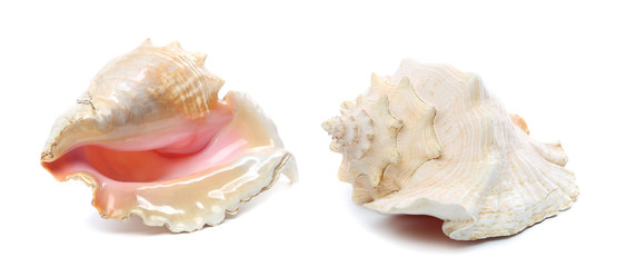 Two sea shells isolated on a white background