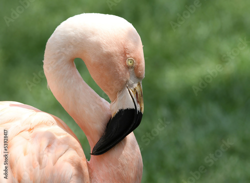 Chilean Flamingo with Green Grass Background