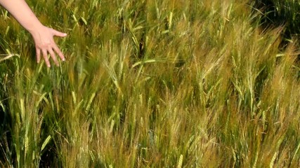 walking through wheat field