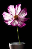 Cosmos pink and white flowe