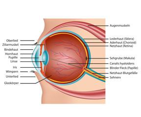 Aufbau Auge, Beschreibung deutsch