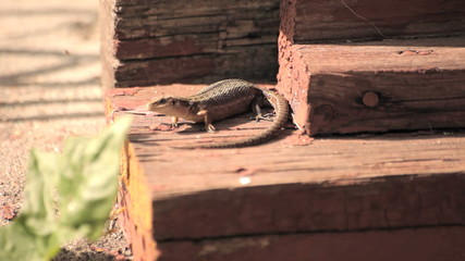 Ящерица на крыльце дома