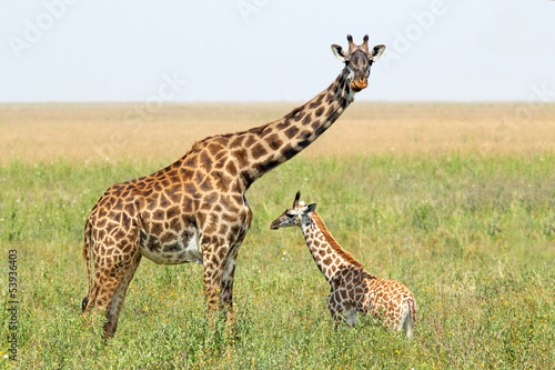 Keuken foto achterwand Giraffe Baby giraffe and mother
