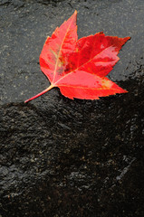 Red Maple Leaf on Wet Rock