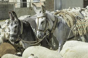 Donkeys and sheep