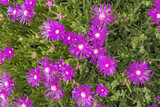 Creeping Shrubby Ice Plant