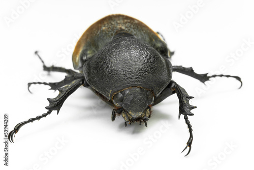 Earth- boring dung beetle