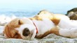 Funny beach scene: beagle puppy  dog sunbathing on the sea coast