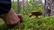 Blueing bolete mushroom picking in the forest