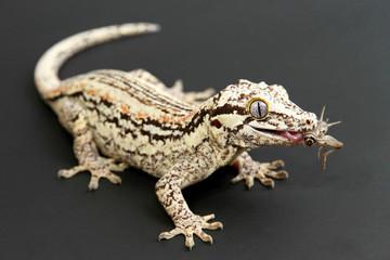 Gargoyle Gecko eating