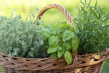 Basket with thyme, basil and rosemary in the garden.