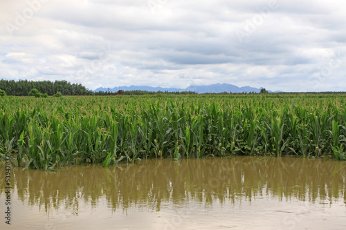 Corn in the flood waters, Luannan, Hebei, China.