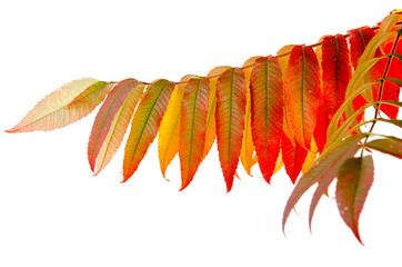 Blätter des Essigbaumes