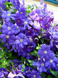 beautiful blue flowers of clematis