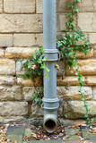Ivy covered iron drainpipe
