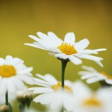 Close-up of daisies. Selective focus, shallow DOF.