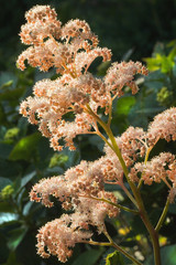 Rodgersia aesculifolia flowers in summer