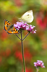 Large white and Small tortoiseshell butterflies on Verbena