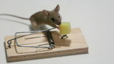 Funny mouse eating cheese in a mousetrap