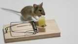 House mouse eating cheese in a mousetrap