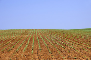 Young sunflower plants at portuguese field