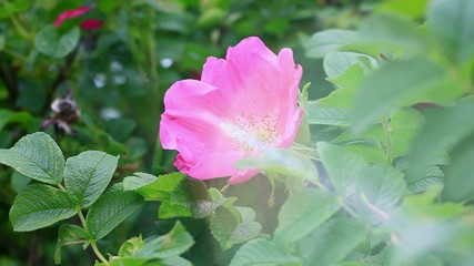 Wild rose bush with sunbeam