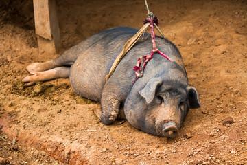 thai pig chiangmai Thailand