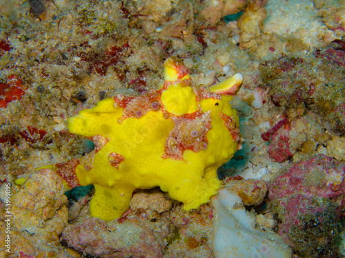 yellow frog fish