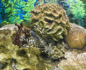 Fish-zebra