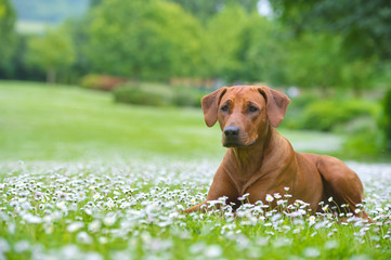 Rhodesian ridgeback dog puppy in a field of flowers