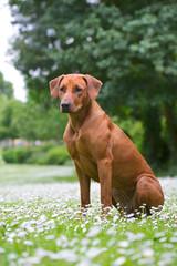 Rhodesian ridgeback dog puppy in a field of flowers