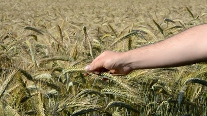 Getreidefeld Korn Berührung