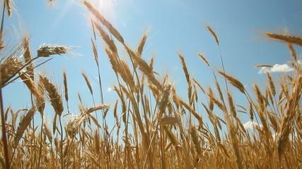 Wheatfield, sunny day