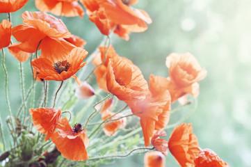 Blossom poppy © tashka2000