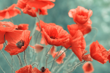 red poppy flowers © tashka2000