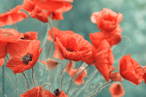 red poppy flowers